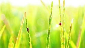 Les coccinelles détruisent la ferme de riz de jasmin pendant le matin banque de vidéos