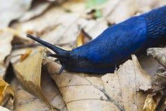 Les coerulans bleus de Bielzia de portrait slug des rampements au-dessus des feuilles sèches photos libres de droits