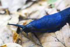 Les coerulans bleus de Bielzia de portrait slug des rampements au-dessus des feuilles sèches photo stock