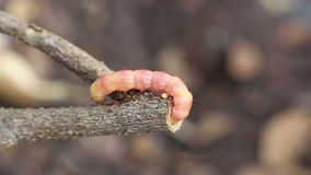 Les coffeae ou les mites rouges de Zeuzera refoulent le foreur détruisent l'arbre C'est les parasites d'insecte dangereux avec la clips vidéos