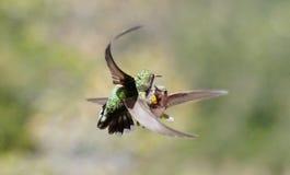 Les colibris de combat en duel luttent pour le territoire images libres de droits