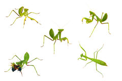 les collections proches ont isolé le mantis vers le haut du petit morceau Photo stock