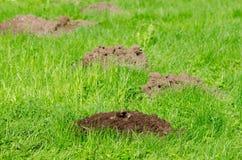 Les collines de taupe sur l'herbe et l'animal de pelouse se dirigent dans le sol Photos libres de droits