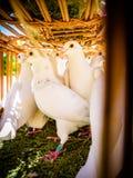Les colombes blanches dans le panier images libres de droits