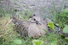Les colombes de deuil de Flegled se reposent dans l'herbe photo libre de droits