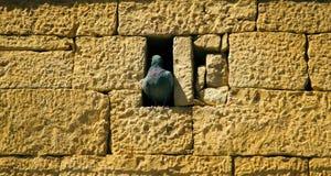 Les colombes de roche nichent dans les villes dans les renfoncements et les conduits image libre de droits