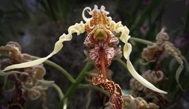 Les complexités de Madame Slipper Orchid images stock