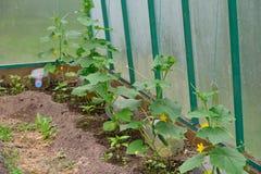 Les concombres plante l'élevage en serre chaude à leur cottage d'été Photographie stock