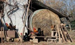 Les coqs et les poules errent gratuit dans la cour d'une ferme, à côté d'un petit pain de foin Photos libres de droits