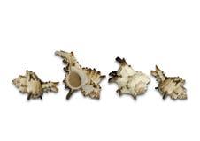 Les coquilles blanches de groupe avec des croissances brunes et oranges Photos libres de droits