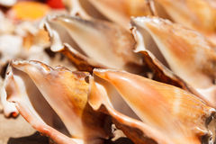 Les coquilles de mer se ferment en plage de Santa Maria - Cap Vert Images libres de droits