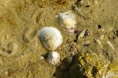 Les coquilles de mer vivantes de la mer se situent dans le sable à la plage Photo libre de droits