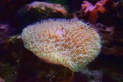Les coraux de Fungiidae sont grands-polyped les coraux pierreux les plus motiles et les plus beaux photo stock