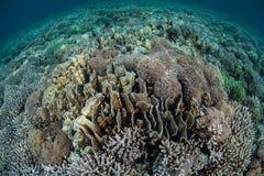 Les coraux fragiles se développent sur un récif peu profond Photographie stock