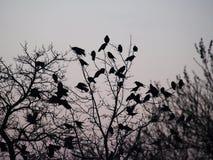 Les corbeaux Photos stock