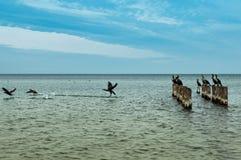 Les cormorans commençants Photo stock