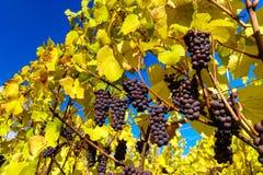 Les couleurs automnales de alsacien des vignobles, Frances Photographie stock libre de droits