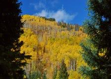 Les couleurs de chute dans le Colorado jettent un coup d'oeil par un espace des arbres à feuilles persistantes Images stock