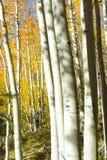 Les couleurs de feuillage d'automne des arbres de bouleau marquent la variation dans les saisons dans Sierra Nevada photos stock