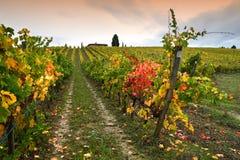 Les couleurs de la saison d'automne sur les vignobles toscans dans la région de chianti près de Florence photo libre de droits