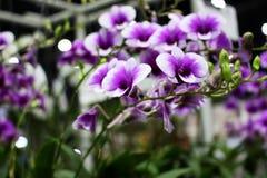 Les couleurs jaunes et oranges des orchidées de miniatum d'Ascocentrum fleurissent Photos stock
