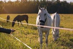 Les couples de alimentation de fille des chevaux blancs frôlent dans un pré Photographie stock