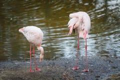 Les couples de beaux flamants roses s'élèvent au bord de l'étang et nettoient le plumage images stock