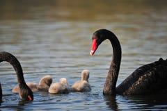 Les couples de cygne et leurs bébés Images libres de droits