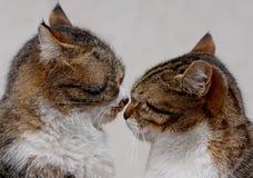 Les couples de deux chats affectueux frottent chaque autres Photographie stock libre de droits