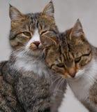 Les couples de deux chats affectueux frottent chaque autres Photos libres de droits