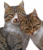 Les couples de deux chats affectueux frottent chaque autres Photos stock
