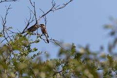 Les couples de la pie-grièche deux soutenue par rouge étaient perché sur un arbre d'acacia Image stock