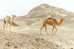 Les couples de la promenade de famille de deux chameaux ensemble sable de désert de jour Photographie stock