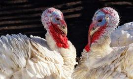 Les couples de la Turquie blanche avec leurs cous forment un coeur Images libres de droits