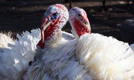 Les couples de la Turquie blanche avec leurs cous forment un coeur Photos libres de droits