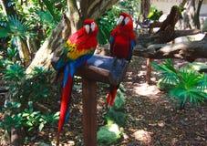 Les couples des aras colorés de perroquets dans Xcaret garent le Mexique Photos stock