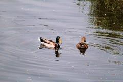Les couples des canards de l'eau nagent et apprécient le beaux environnement naturel/paires de canards et d'oiseaux dans l'amour Images stock