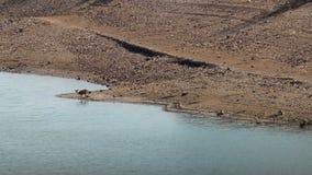 Les couples des cerfs communs femelles s'approchent de la rivière le Tage, Espagne banque de vidéos