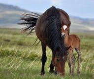 Les couples des chevaux frôlent en steppes illimitées de Kazakhstan Images libres de droits