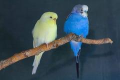 Les couples des perroquets onduleux domestiques se reposent sur une branche images libres de droits