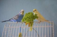 Les couples des perroquets onduleux mangent de la salade verte images libres de droits