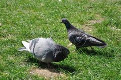 Les couples des pigeons dans l'amour dansent sur l'herbe Photo stock