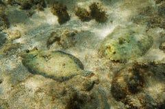 Les couples du flet de paon pêchent sur le fond de la mer Photo libre de droits