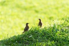 les couples du hornero rufous brunissent l'oiseau sur la terre photographie stock libre de droits