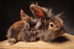 Les couples du lion adorable dirigent des lapins avec des oreilles  Images libres de droits