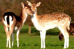 Les couples heureux de jeunes cerfs communs Photos stock