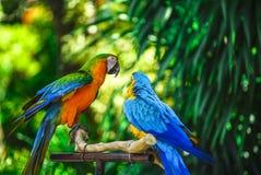 Les couples Parrot avec le fond de bokeh photographie stock libre de droits
