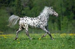 Les courses de cheval d'Appaloosa galopent sur le pré dans l'heure d'été Images libres de droits