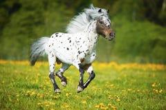 Les courses de cheval d'Appaloosa galopent sur le pré dans l'heure d'été Photos stock