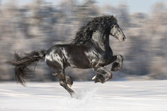 Les courses frisonnes noires de cheval galopent sur le fond brouillé d'hiver photo libre de droits